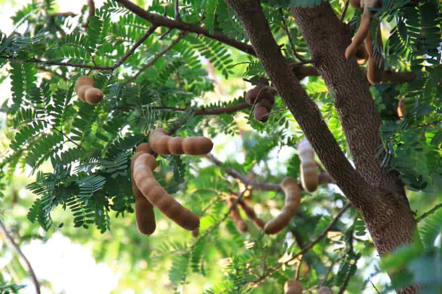 Tamarinde-Frucht-am-Baum