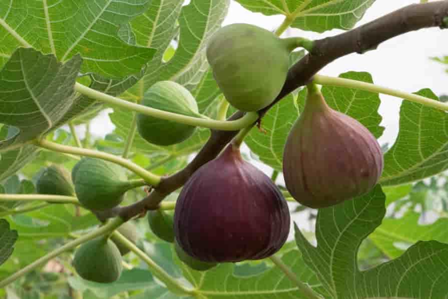 Feigen-am-Baum