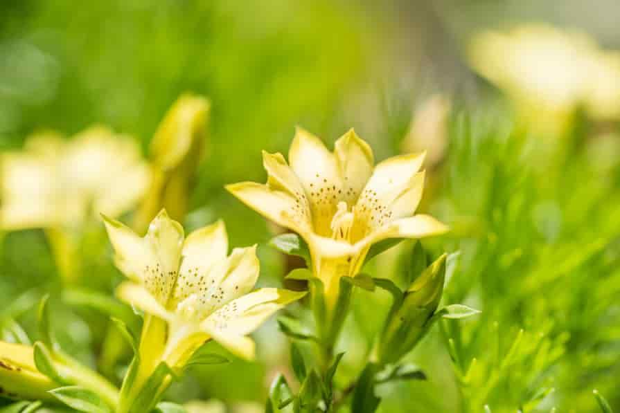 gelber-Enzian